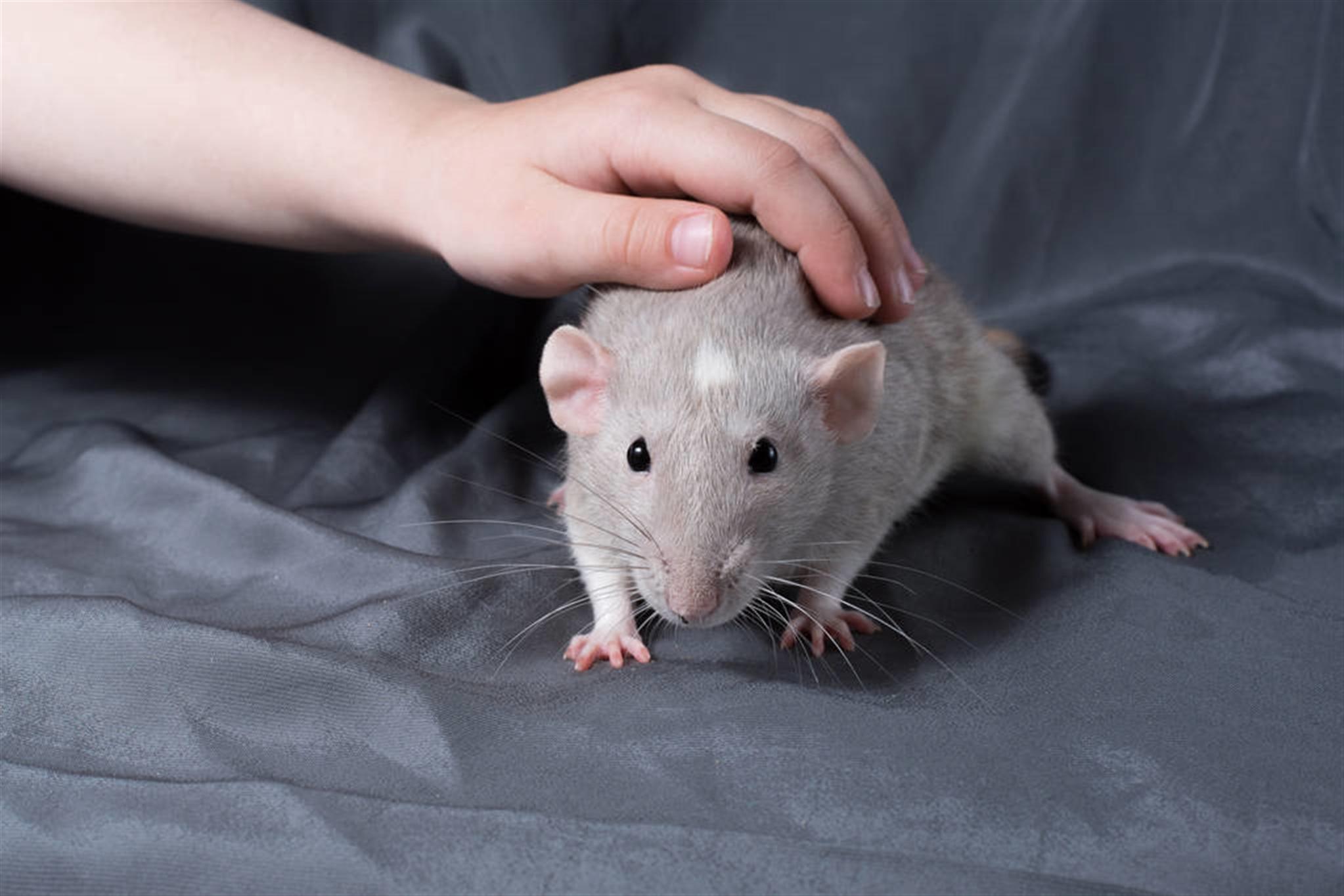属鼠一月到十二月命运 属鼠人的出生月份解析