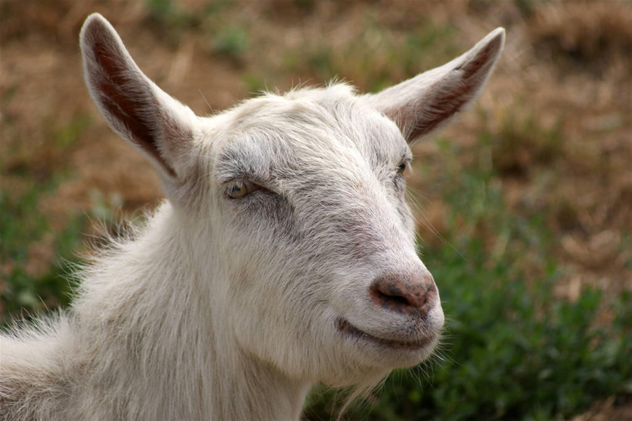 属羊的婚姻配属什么的最好属羊和属牛的姻缘怎样