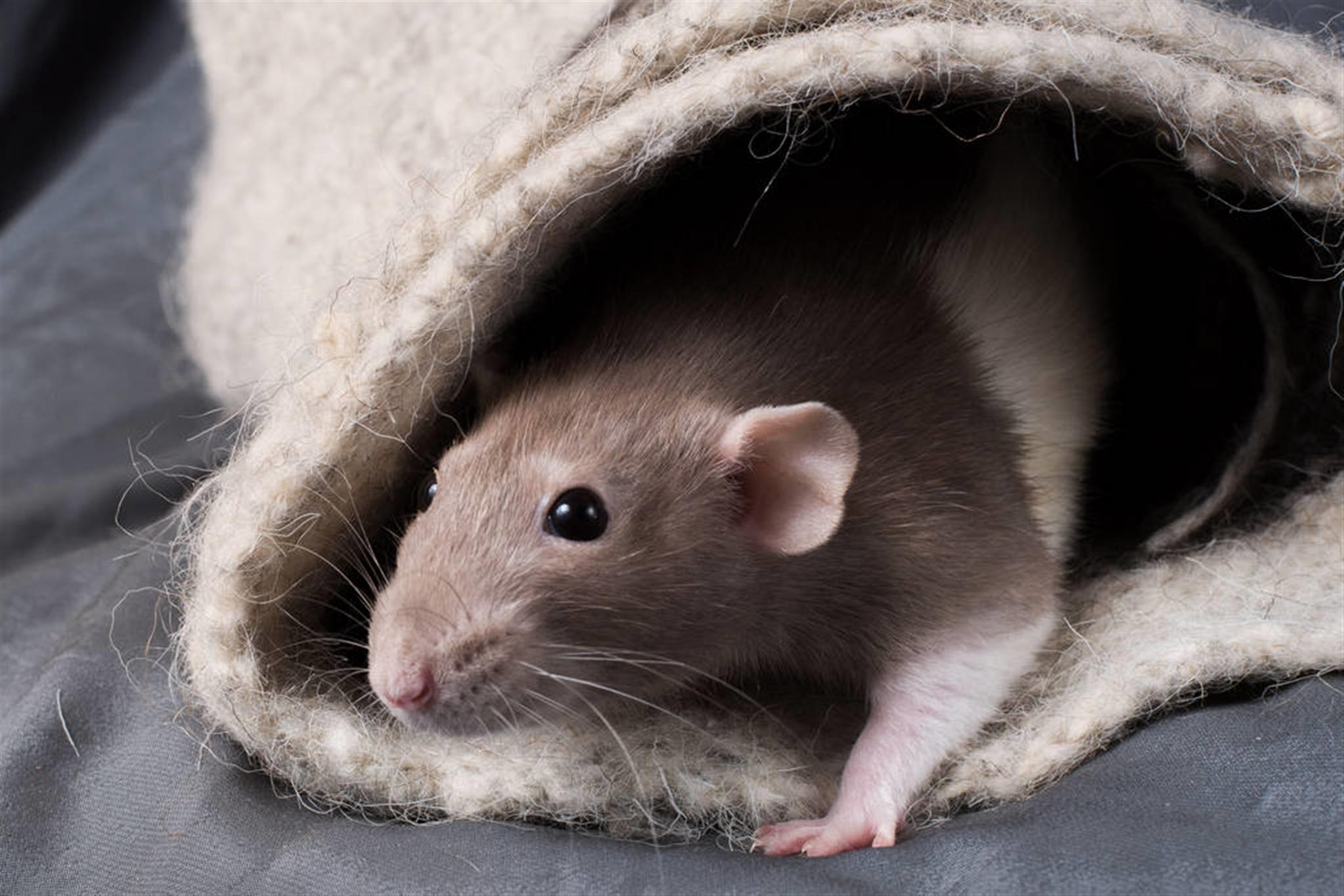鼠本命年的大忌 属鼠人如何度过本命年