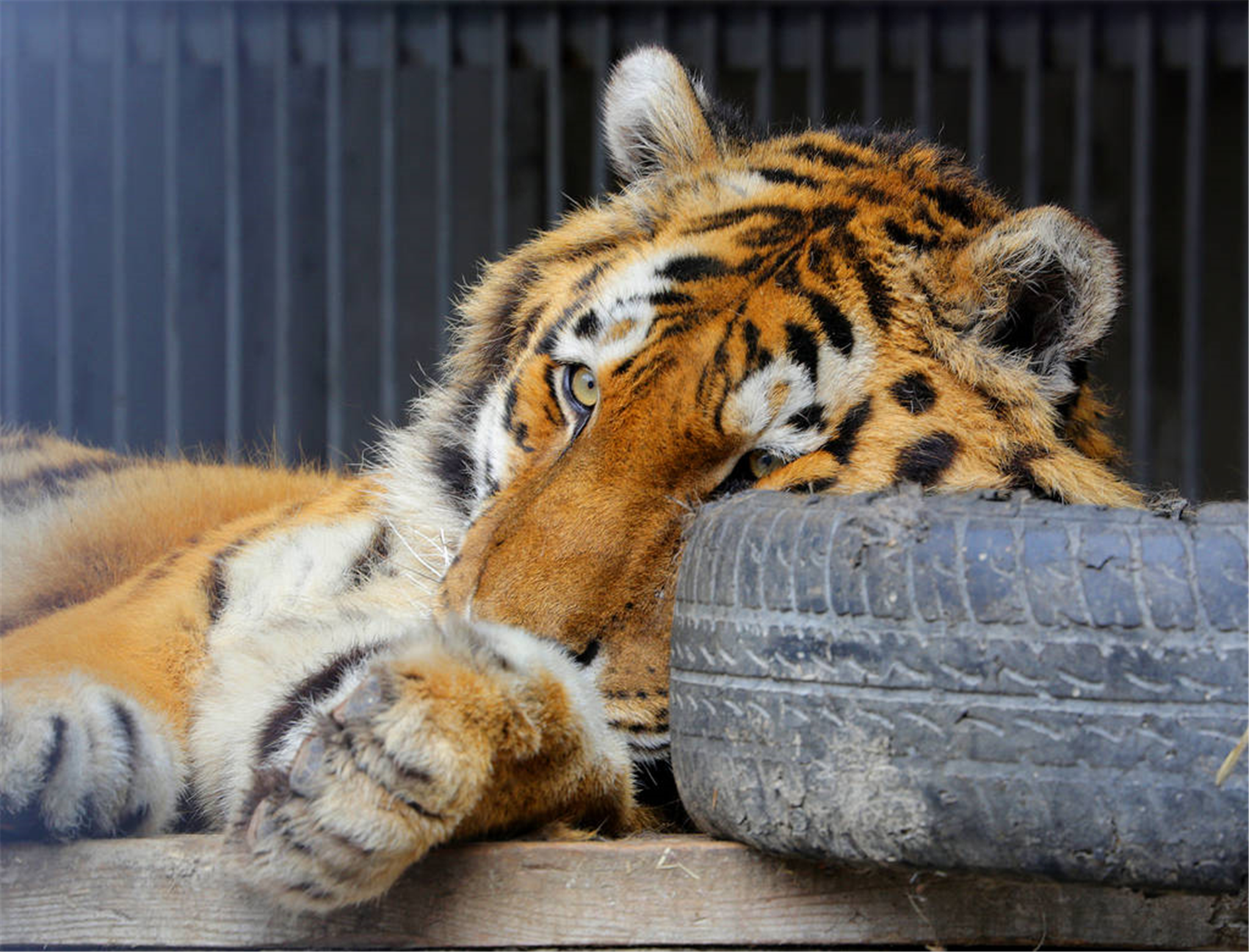 属虎的和什么属相相克 什么属相能镇住属虎的